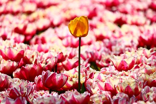 One Yellow Tulip, Alone, Stand Alone, Tulips