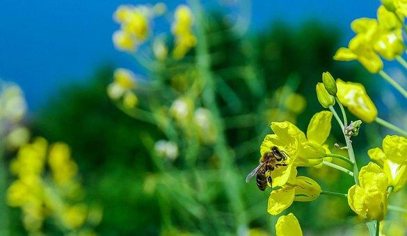 Bee, Macro, Flower, Yellow, Green, Nature, Wild, Babu