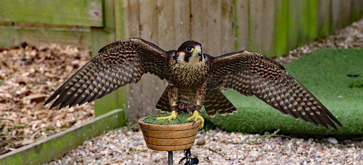 Peregrine, Falcon, Bird, Predator, Raptor, Prey
