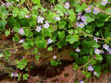 Wallflower, Dulcimer Herb, Wall Plant, Blossom, Bloom