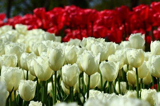 Red And White Tulips, Bulk Tulips, Spring, Konya