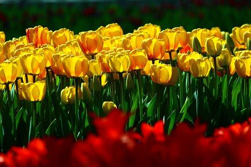 Bulk Yellow Tulips, Tulips, Spring, Konya