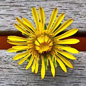 Dandelion, Buttercup, Single Bloom, Yellow Petals
