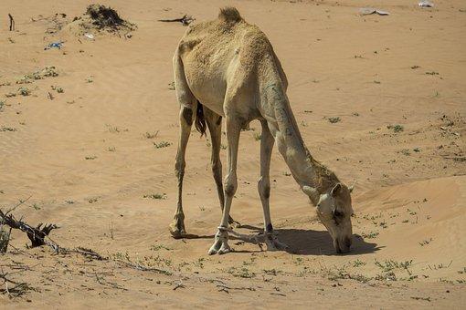 Camel, Camels, Desert, Deserts, Africa, Bedouin, Hot