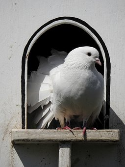 Dove, Bird, Animal, Nature, Plumage, Dovecote, Aviary