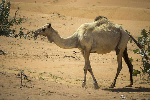 Camel, Dromedary, Desert, Nero, Bedouin, Hot, Emirates