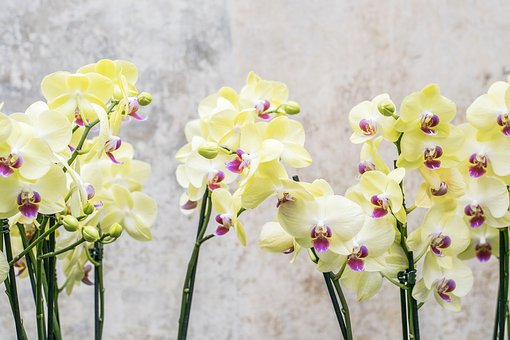 Orchid, Flower, Floral, Nature, Blossom, Bloom