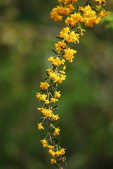 Berberis, Yellow Flower, Shrub, Spring, Garden, Thorny