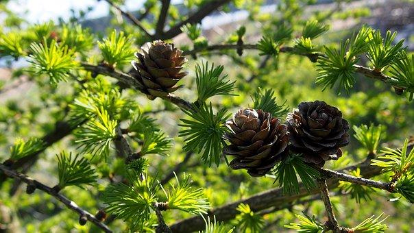 Cones, Larch, Tree, Sprig, Closeup, Larch Needles