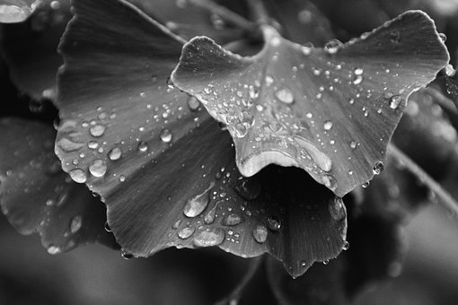 Ginkgo Leaves, Black White, Medical, Phytotherapy