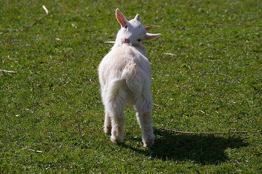 Goat, Killing, Woolly, Mischievous, Soft, Rural Life