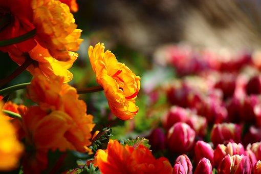 Modest Yellow Tulips, Great, Tulips, Konya