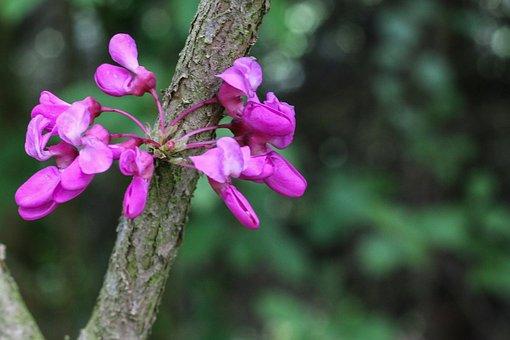 Tree Of Judea, Pink Flowers, Cercis Siliquastrum