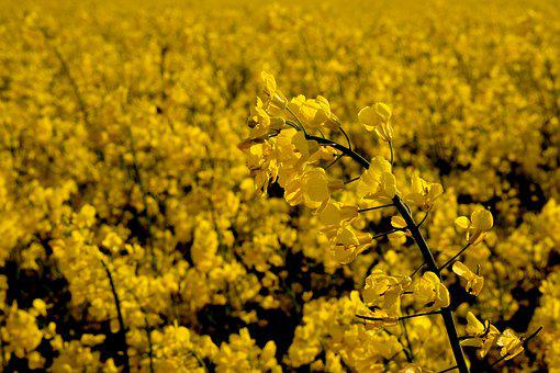 Oilseed Rape, Rare Plant, Field Of Rapeseeds, Yellow