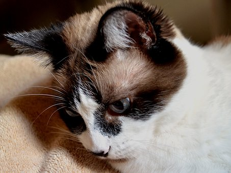 Cat, Siamese, Mix, Pet, Feline, Fur, Domestic, Animal