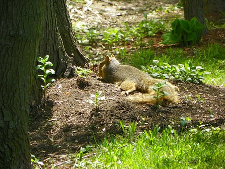 Animal, Squirrel, Lounging, Mammal, Wildlife, Nature