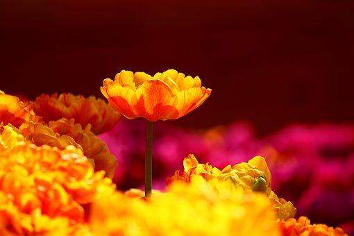 Tulips, Stand Alone, Konya, Spring