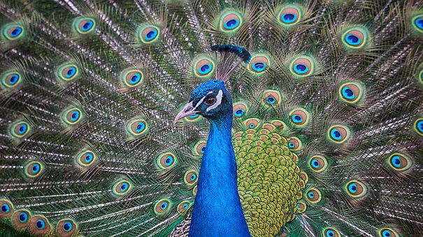 Peacock, Eyes, Pauwenogen, Tooi, Pride, Gracefully