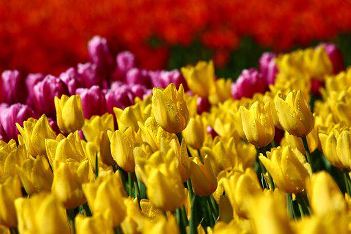 Tulip Collection, Tulips, Tulip Festival, Spring Konya
