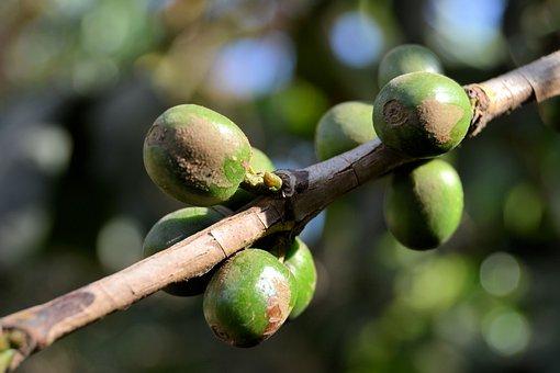 Cuba, Vinales, Coffee, Nature, Green, Plant, Bean
