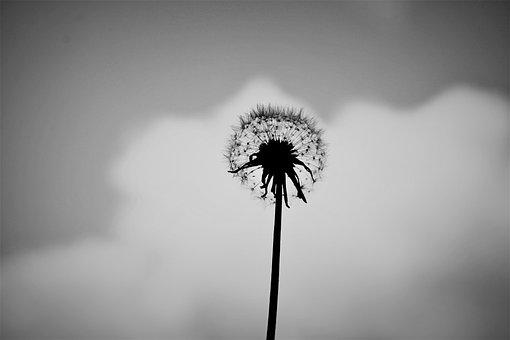 Dandelion, Alone, Black And White, Flower, Nature