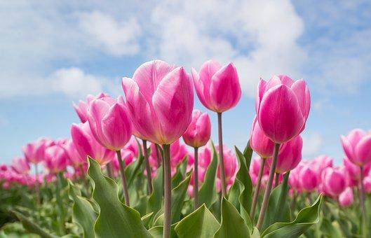 Tulips, Flowers, Field, Pink Tulips, Field Of Tulips