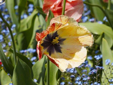 Tulips, Tulip Fringed, Flowers, Spring, Nature