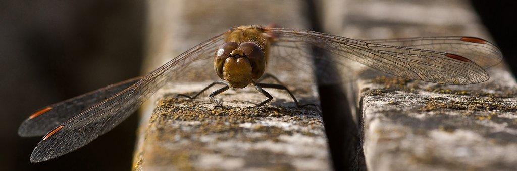Dragonfly, Four Patch, Insect, Wing, Close Up, Macro