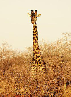 Giraffe, Kenya, Tsavo West National Park