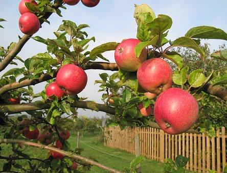Apple Tree, Apples, Fruit Tree, Fruits, Kivik
