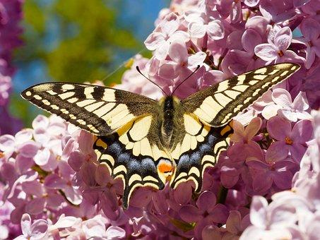Swallowtail, Giant Swallowtail, Butterflies, Macro
