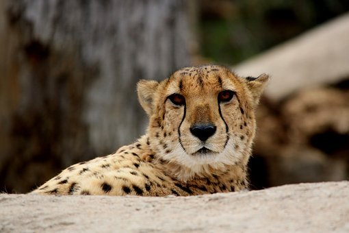 Cheetah, Cat, Wildlife, Predator, Mammal, Africa, Big