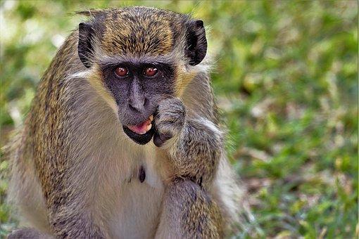 Animals, Monkey, Africa, Monkey Portrait, Primate