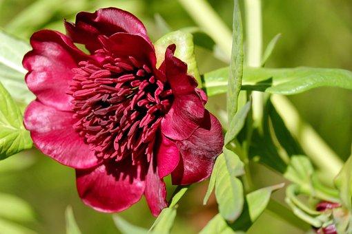 Peony, Herbaceous Peony, Bush, Paeoniaceae, Blossom