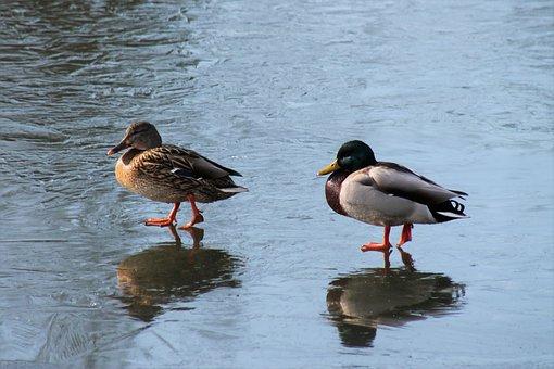 Duck, Pair Of Ducks, Pond, Water Bird, Bird, Happy