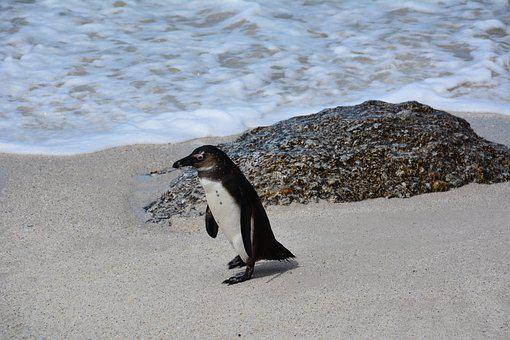 Penguin, South Africa, Bolders Beach