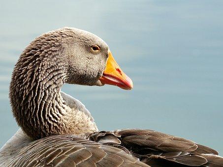 Wild Goose, Bird, Water Bird, Poultry, Migratory Birds