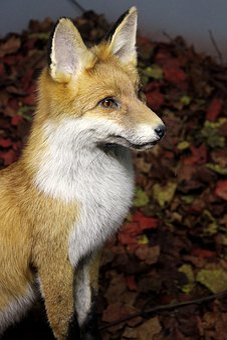 Fuchs, Animal, Wild, Predator, Vigilant, Attention