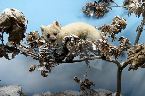 Ferret, Wild, Wild Animal, Preparation, Stuffed