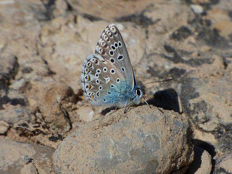 Butterfly, Blue Butterfly, Pseudophilotes Panoptes