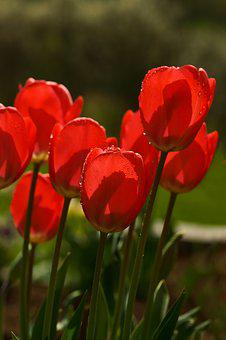 Tulips, Spring, Flower, Red, Flowers, Spring Flower