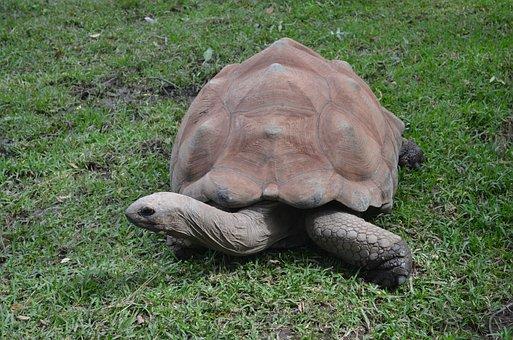 Galapagos Tortoise, Tortoise, Giant Tortoise, Reptile