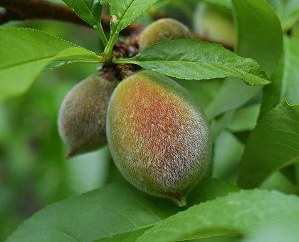 Ripening Peach, Peach, Fruit, Fuzzy, Spring, Food