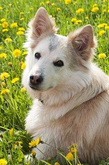 Dog, Laika, Siberian, Pet, Animal, Cute, Domestic