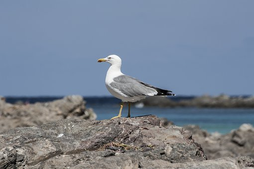 Seagull, Stintino, Sea, Rocks, Birds, Nature, Sky, Bird