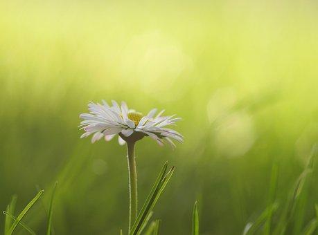 Daisy, Meadow, Flowers, Spring, Flower Meadow, White