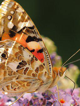 Beautiful Lady, Butterfly, Ledidoptere, Vanessa Cardui
