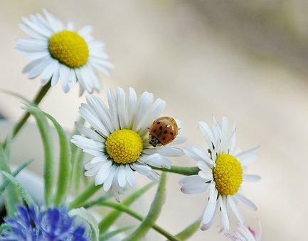 Daisy, Flower, Blossom, Bloom, Beetle, Ladybug, White