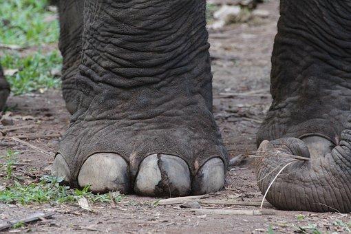Elephant, Foot, Animal, Nature, Wild, Wildlife, Mammal
