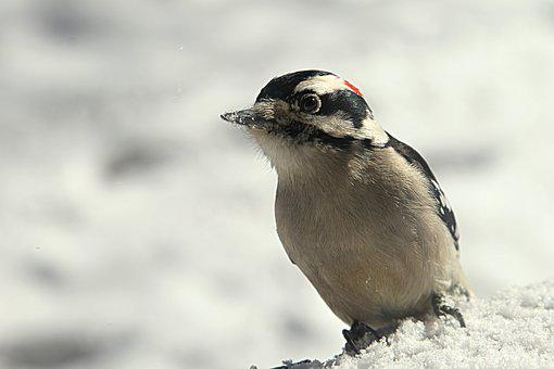 Woodpecker, Bird, Winter, Cold, Animal, Life, Nature